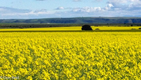 Canola fields along Herbertsdale road near Mossel Bay