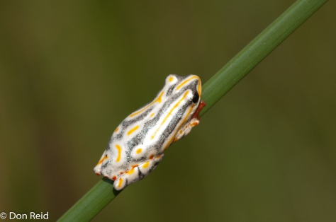 Painted Reed Frog, Mozambique