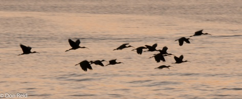 Glossy Ibis, Chobe Game Reserve