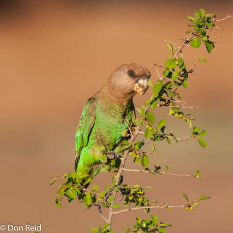 Brown-headed Parrot, Satara - Orpen H7