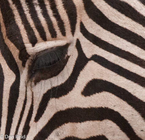 Burchell's Zebra, Satara - Nwanetsi S100