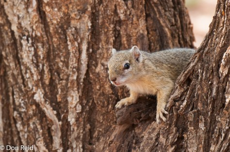 Tree Squirrel, Satara