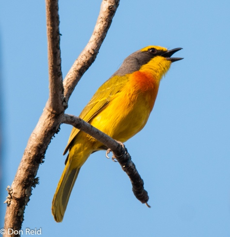 Orange-breasted Bush-Shrike, Satara