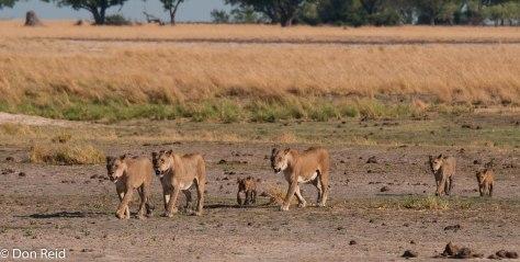Pride of Lions, Chobe Riverfront