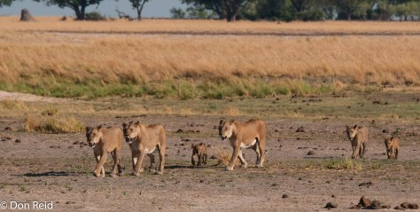 Pride of Lions, Chobe Riverfront
