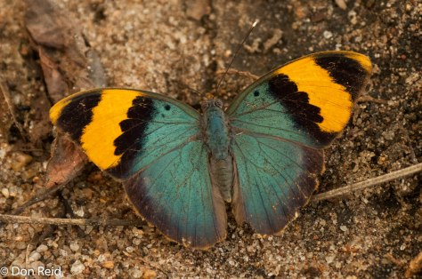 Gold-banded forester, Mozambique