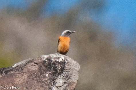 Short-toed Rock-Thrush (taken long-distance - excuse the quality)