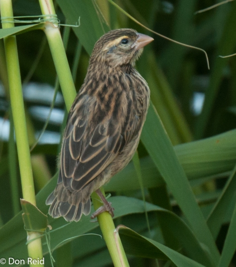 Southern Red Bishop (Female)