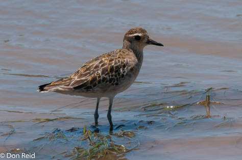 Pacific Golden Plover, Gouritzmond