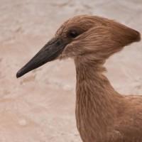 Bird in the Lens - Hamerkop
