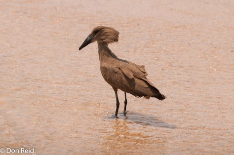 Hamerkop, Bridge near Skukuza