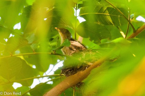 Yellow-throated Leaflove nestling
