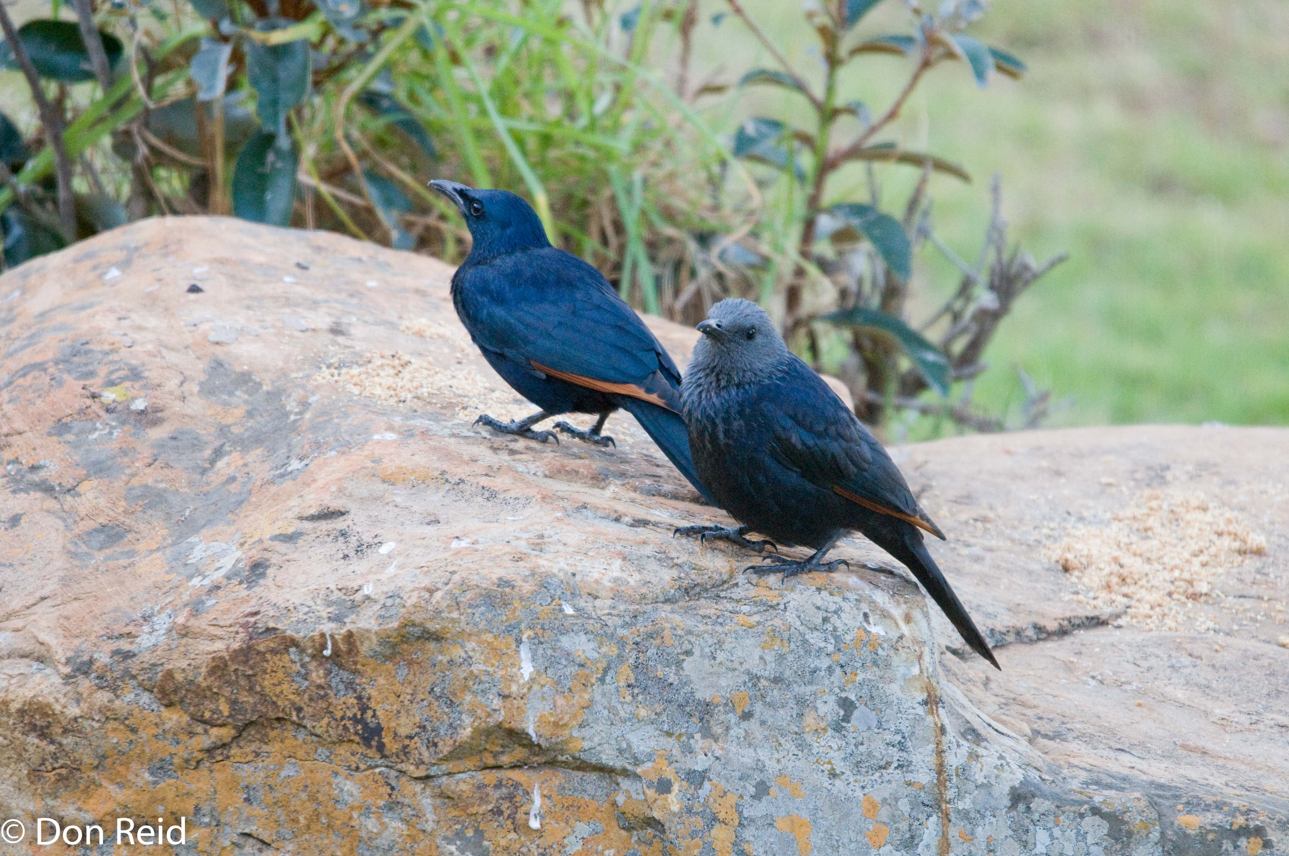 Red-winged Starling, Verlorenkloof