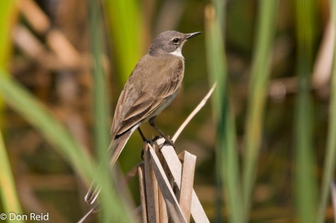 Cape Wagtail, Verlorenkloof