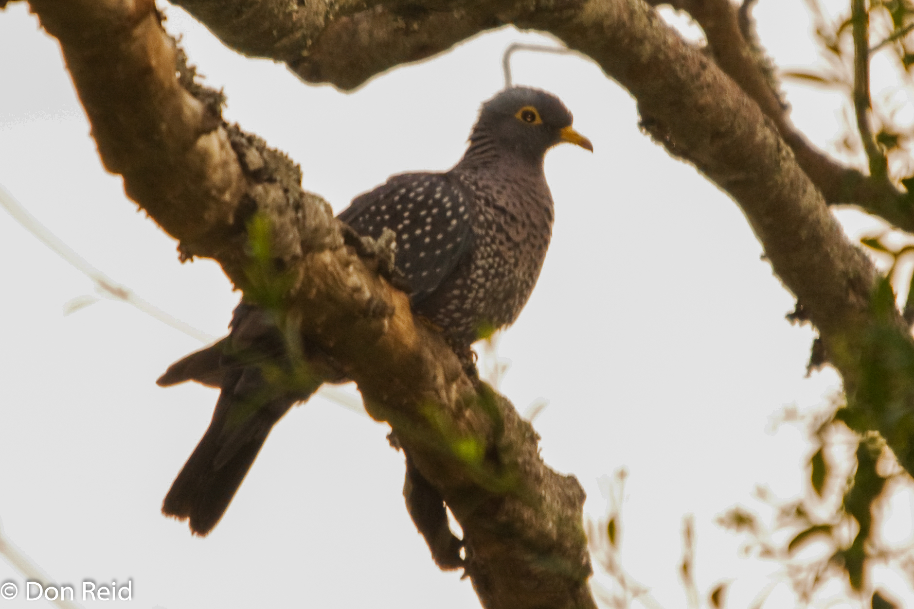 African Olive-Pigeon, Verlorenkloof