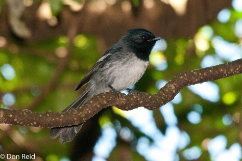 Blue-mantled Flycatcher, Verlorenkloof