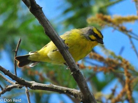 Yellow Canary, Verlorenkloof