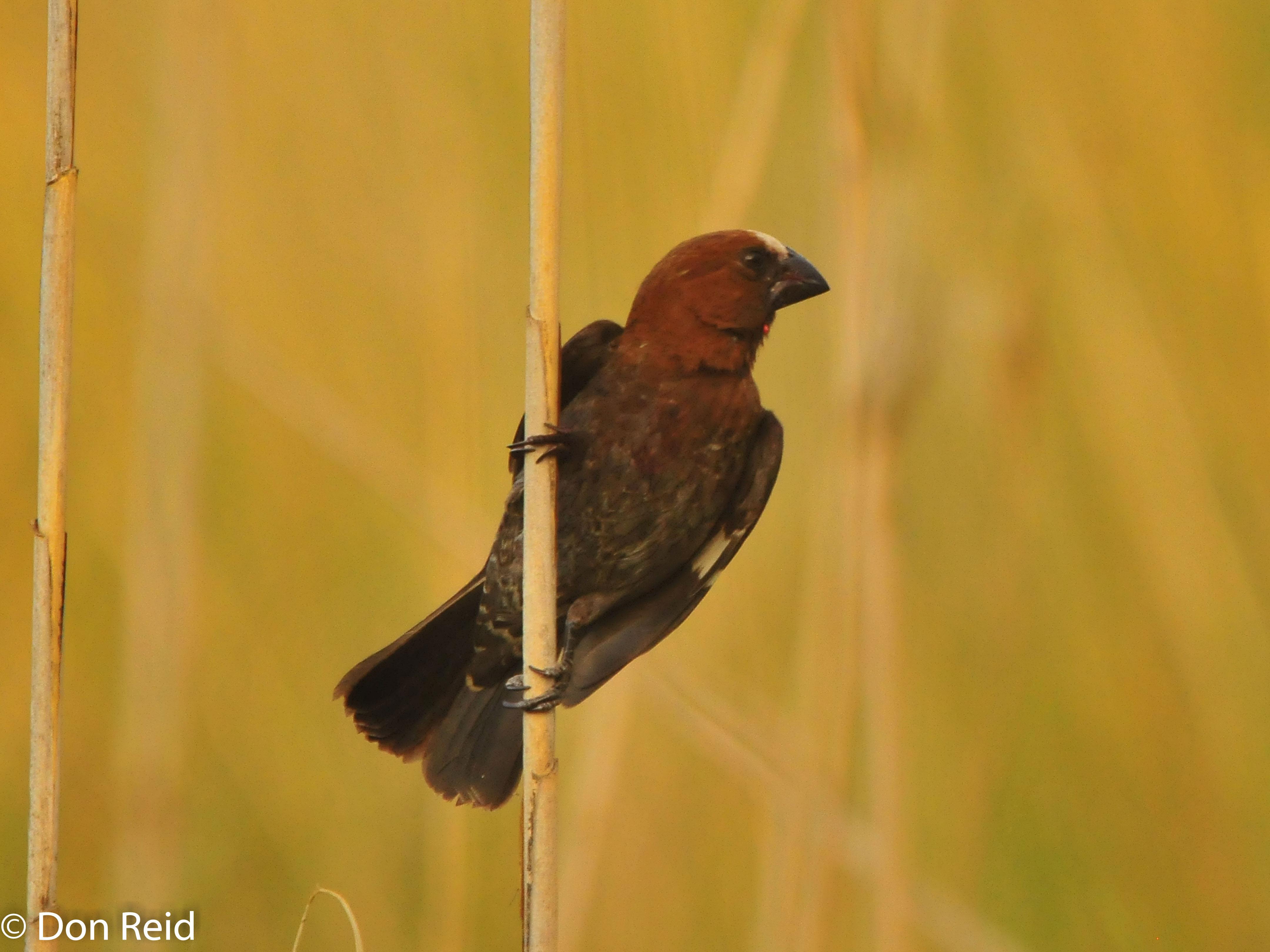 Thick-billed Weaver, Verlorenkloof