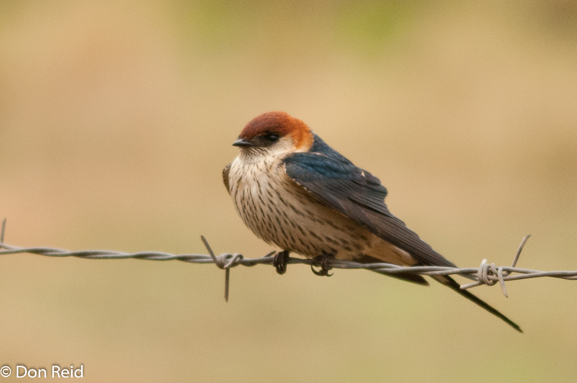 Greater Striped Swallow, Verlorenkloof