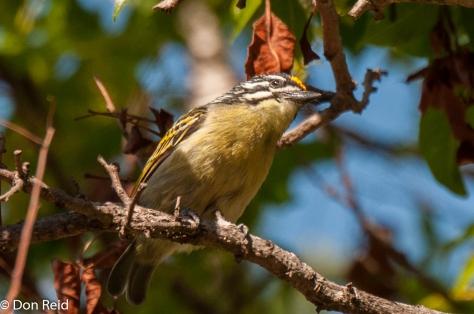 Yellow-fronted Tinkerbird, Verlorenkloof