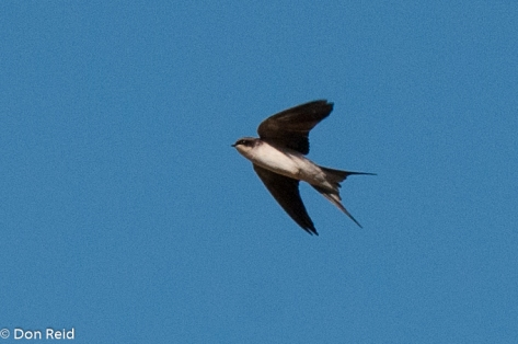 Grey-rumped Swallow, Verlorenkloof
