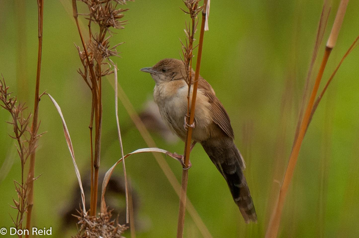 Broad-tailed Warbler, Verlorenkloof