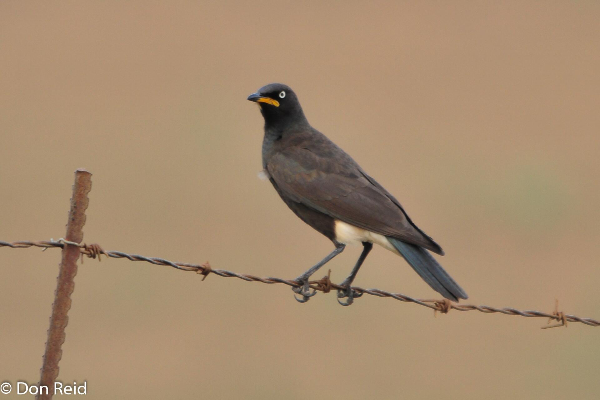 Pied Starling, Verlorenkloof