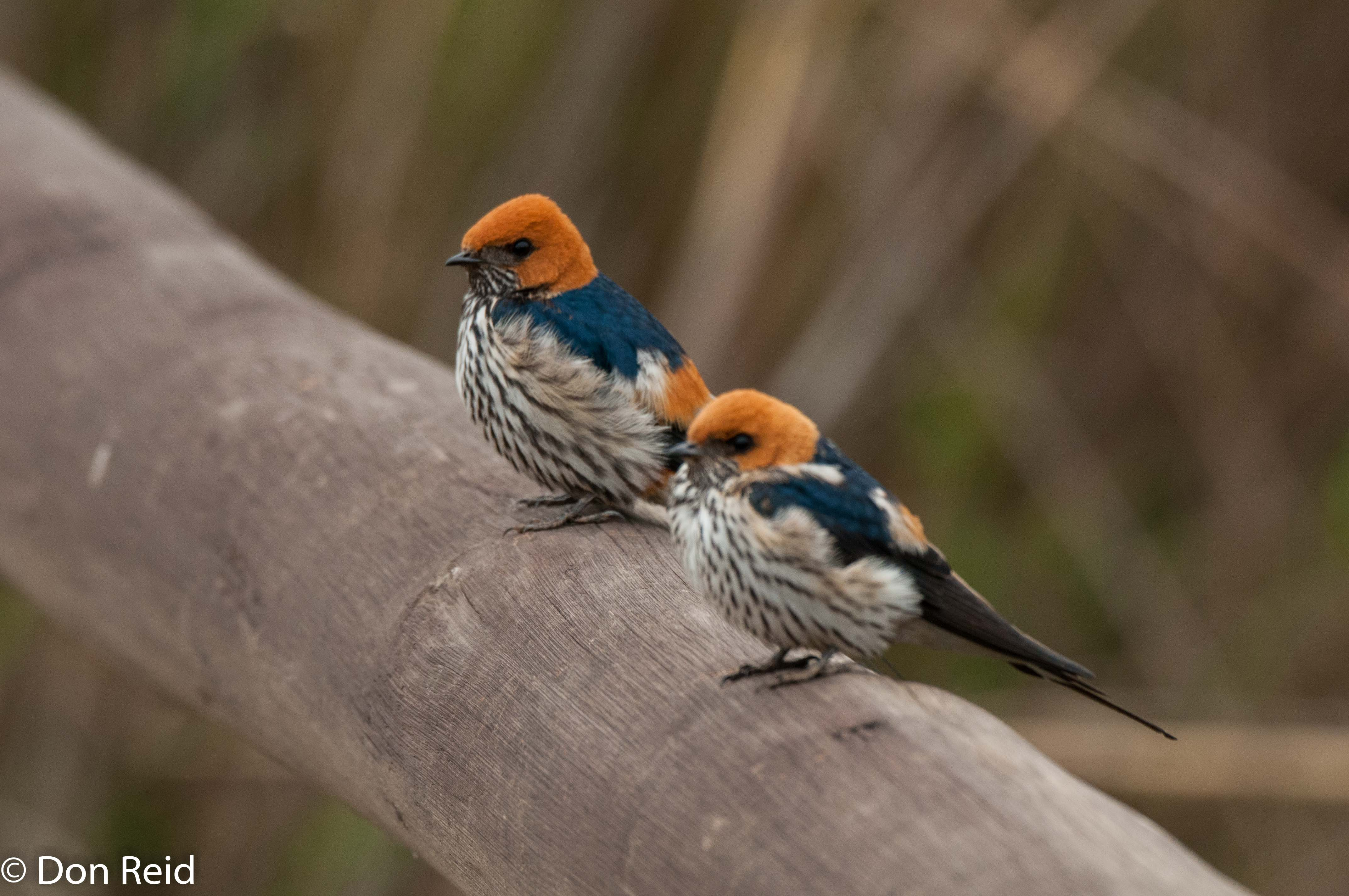 Lesser Striped Swallows, Verlorenkloof