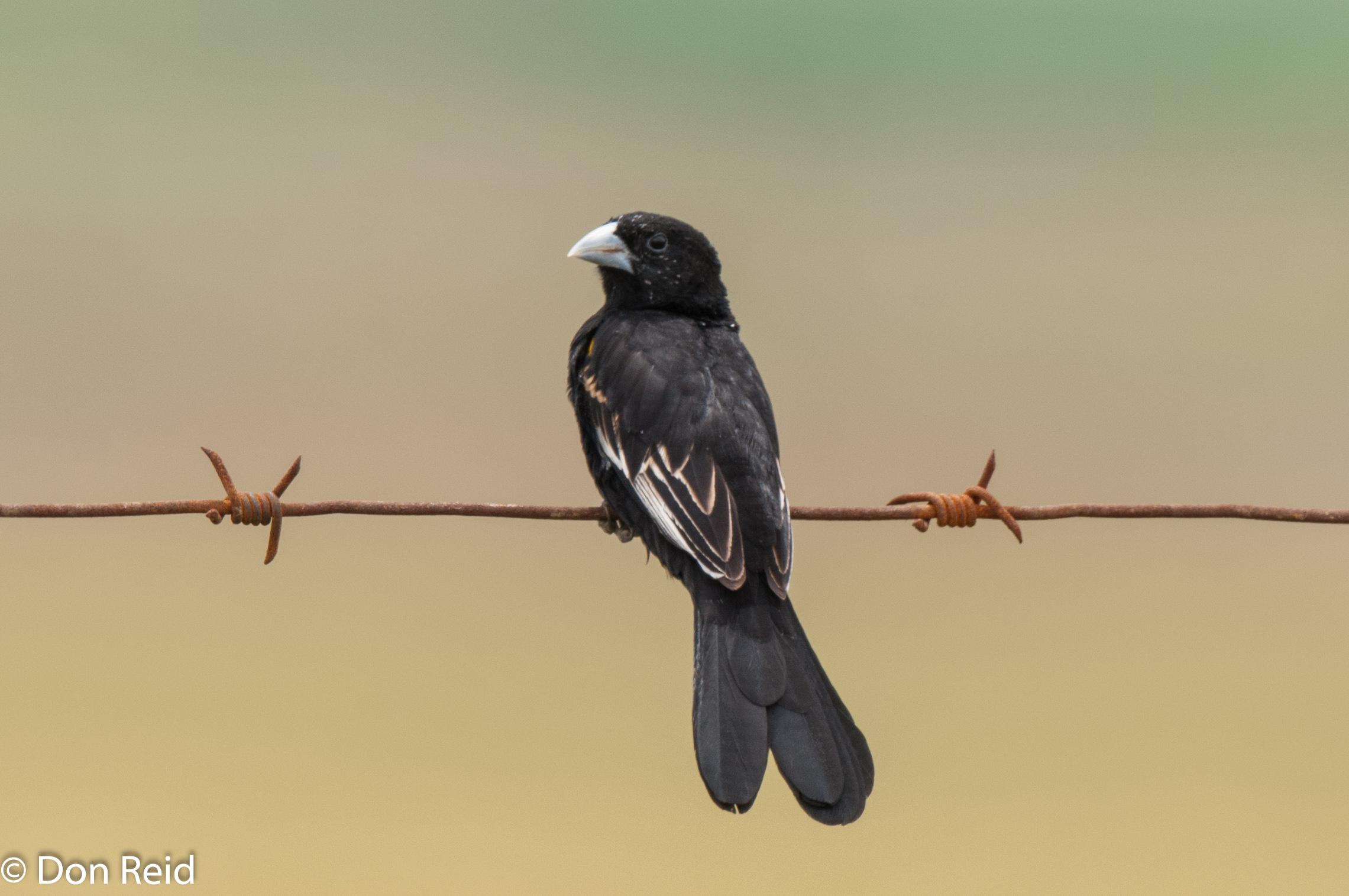 White-winged Widowbird, Verlorenkloof
