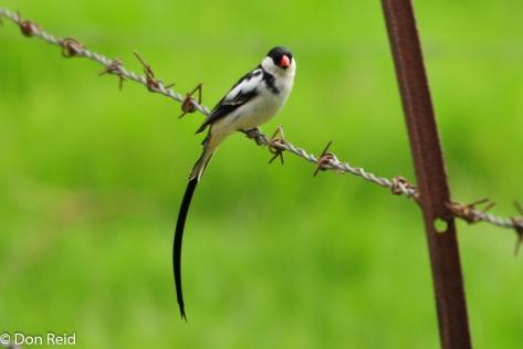 Pin-tailed Whydah, Verlorenkloof