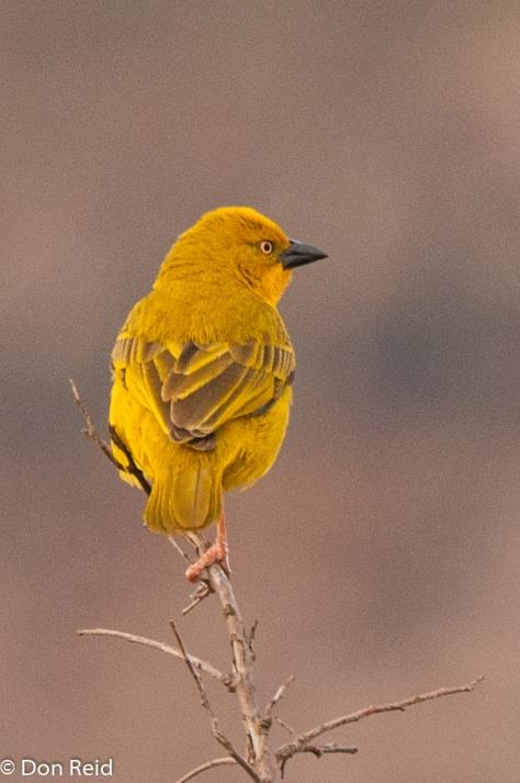 African Golden Weaver (Ploceus xanthops) - Goudwewer