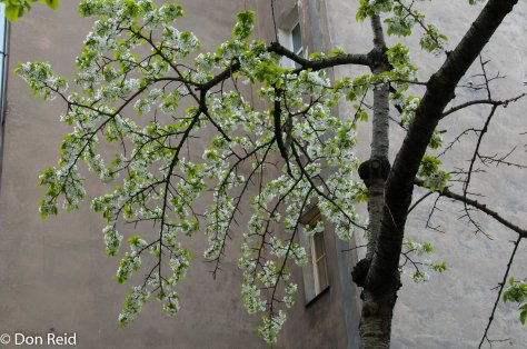 Prague - Spring blossoms