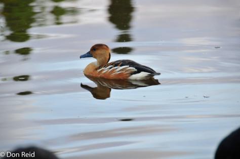 Fulvous Duck