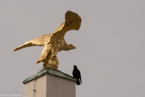 Golden Eagle - meet live Crow