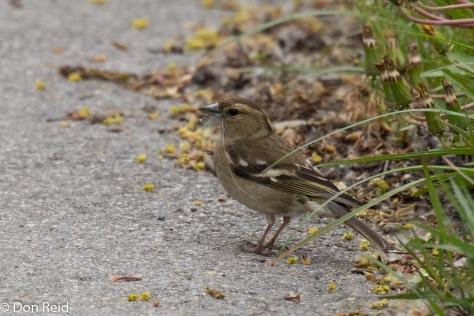 House Sparrow, Danube