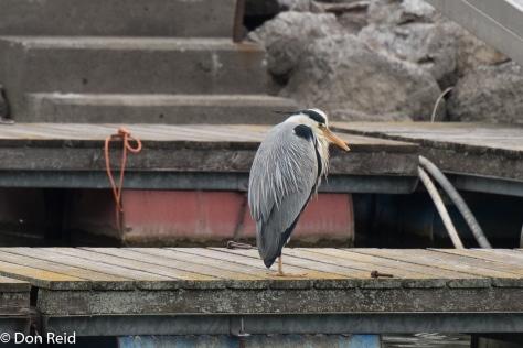 Grey Heron, Vienna