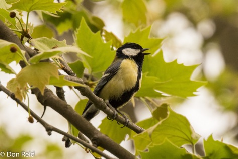 Great Tit, Vienna