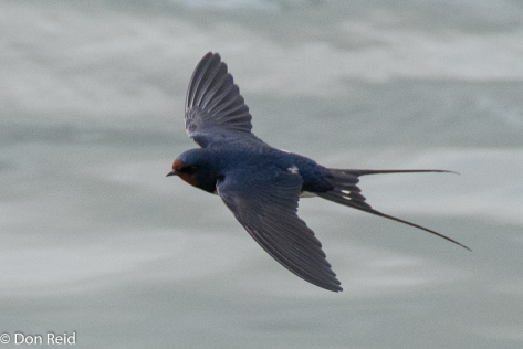 Barn Swallow, Danube