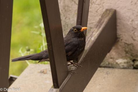 Blackbird, Cesky Krumlow