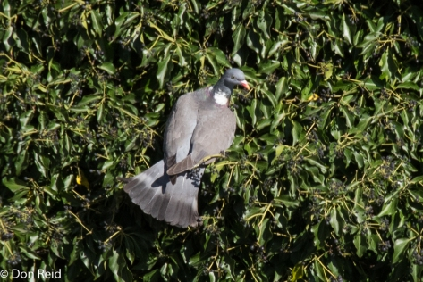 Wood Pigeon, Prague
