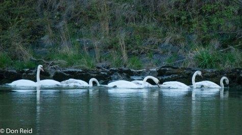 Mute Swan, Danube