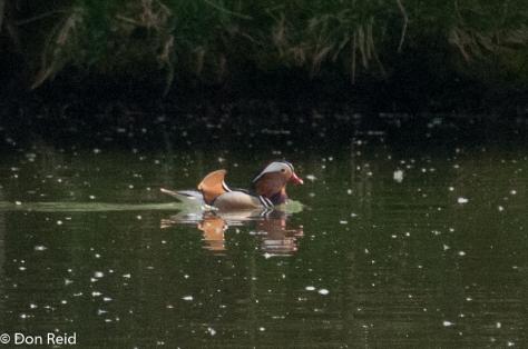 Mandarin Duck, Danube
