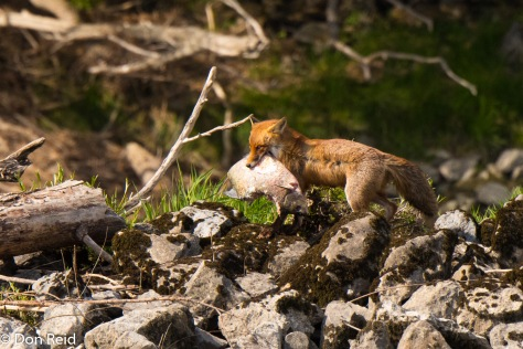Red Fox with fish catch