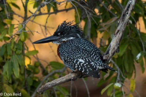Giant Kingfisher, Chobe River Boat Trip