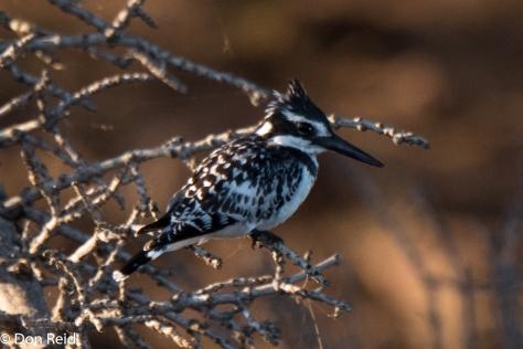 Pied Kingfisher, Chobe River Boat Trip