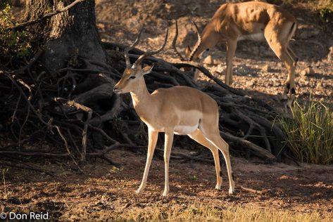 Impala, Chobe River Boat Trip