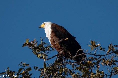 African Fish-Eagle, Chobe River Boat Trip