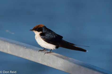 Wire-tailed Swallow, Chobe River Boat Trip