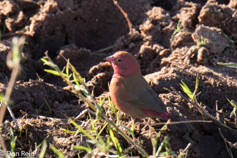 Red-billed Firefinch, Chobe River Boat Trip