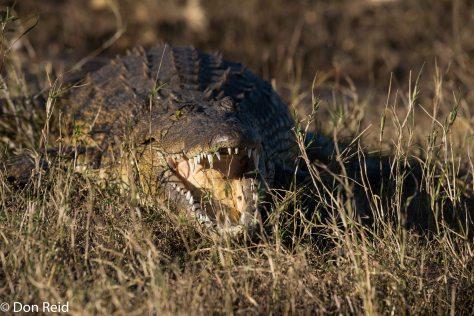 Crocodile, Chobe River Boat Trip